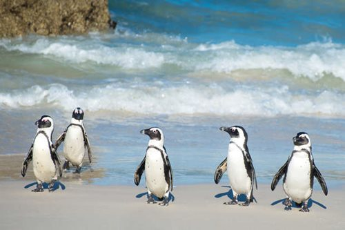 African penguins on the beach in South Africa